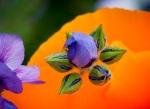 CLT California Poppy 8.4.16